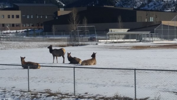 Elk on Battle Mountain baseball field 032616