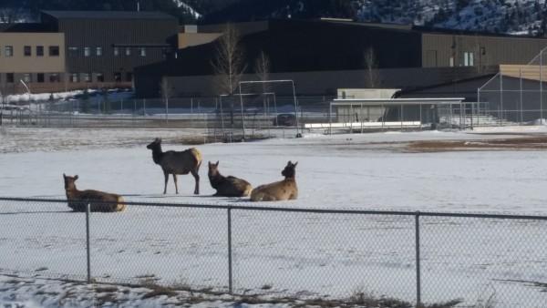 Elk on Battle Mountain baseball field 032616